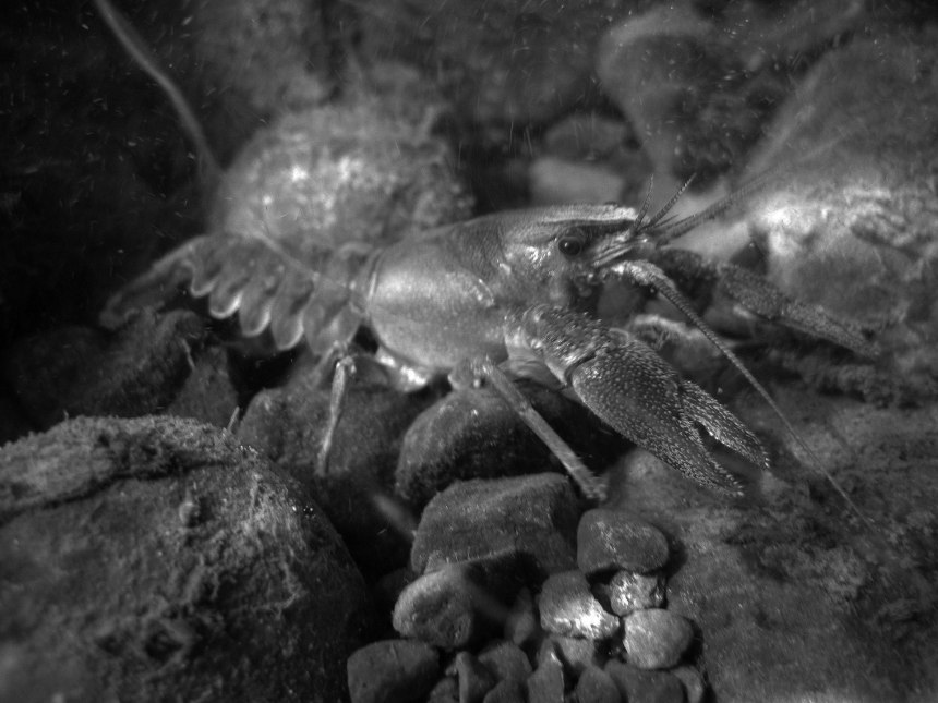 Crayfish-night-search