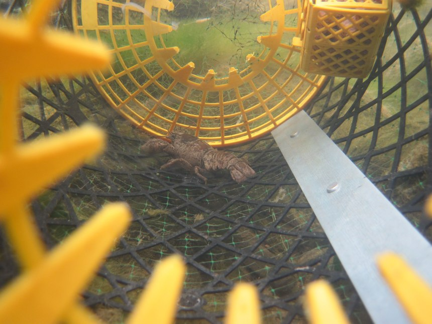 Crayfish inside a 'trappy' crayfish trap