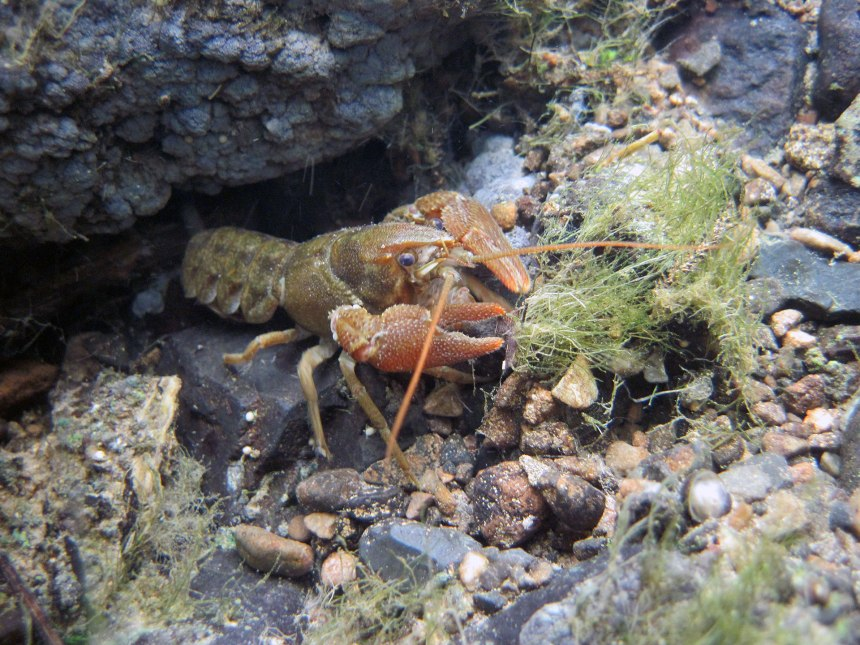 White-clawed crayfish in the River Barrow